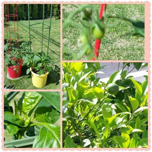 庭の野菜たち.jpg