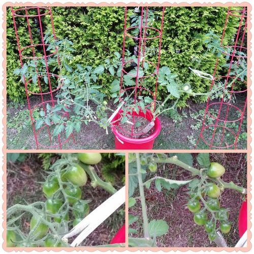 庭の野菜たち2.jpg